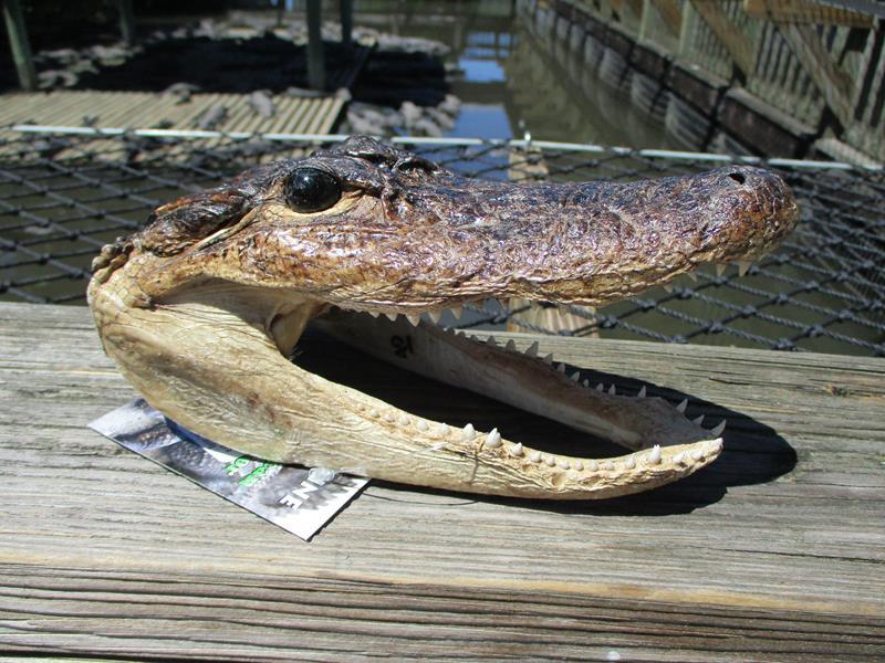 A Taxidermy Alligator Head,GGL